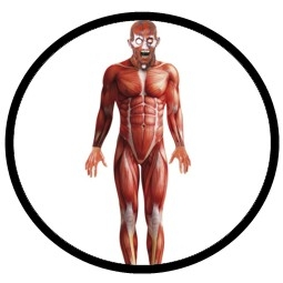 Anatomie Kostüm Muskeln - Bodysuit - Anatomy Man - Klicken für grössere Ansicht