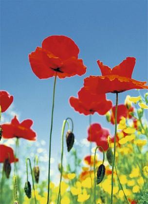 Fototapete - Mohnblumen - Poppy Field