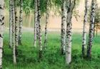 Fototapete - Birkenwald am See - Nordischer Wald